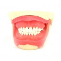 MY013 Natural 치아배열과 잇몸조직 구강모습을 재현한 모델