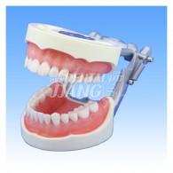 기본 실습용 치아 모형 #D85DP-500B.1